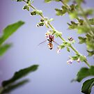 A pollinator at work by rickvohra