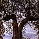 Olive tree, Panicale, Umbria, Italy by Andrew Jones