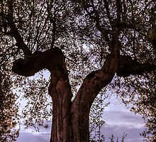 Olive tree, Panicale, Umbria, Italy by Andrew Jones
