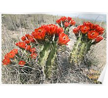 Flowering Cactus at White Sands Poster