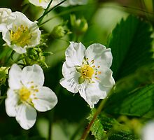 Flower of wild strawberry by igorsin