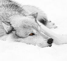 Wolf Laying in Snow by SteveMcKinzie
