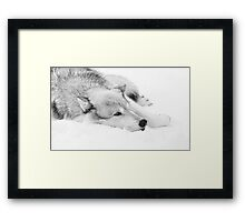 Wolf Laying in Snow Framed Print