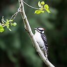 Downy Woodpecker by amontanaview