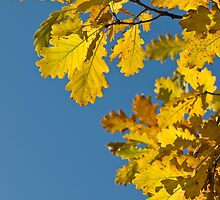 Oak leaves by igorsin