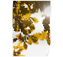 Yellow oak leaves  Poster