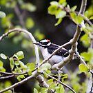 Downy Woodpecker by amontanaview