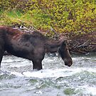 Young Moose by Gene Praag