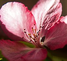 Flowering Crabapple by Colin Harper (12) by Mike Oxley