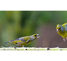 Green Finch, Gang rivalry Photographic Print
