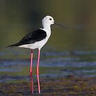 Black-winged Stilt by Neil Bygrave (NATURELENS)