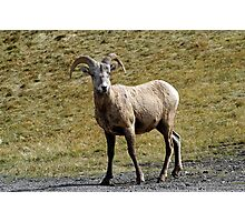 Young Ram  Photographic Print