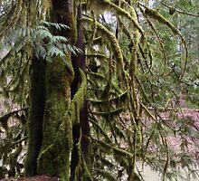 Mossy Cedar, Gifford Pinchot National Forest by Penny Ward Marcus