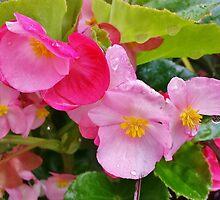Camellia Sasanqua by Scott Mitchell