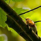 Singing Robin  by Jonathan Fletcher