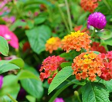 Globe Amaranth and Lantana by Scott Mitchell