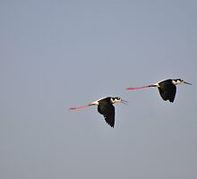 Black-Necked Stilts by Karl F Davis