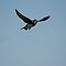 Swallows, swifts, house martins, & sand martins