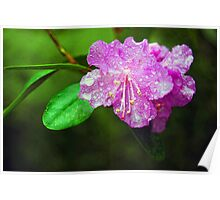 First to bloom rhododendron Poster