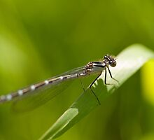 Variable Damselfly by Jon Lees