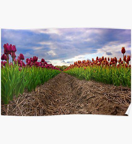 Vibrant tulip field Poster