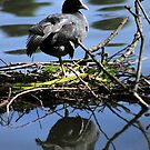 Coot by larry flewers