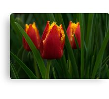 Cheerfully Wet Red and Yellow Tulips Canvas Print