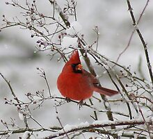 """""""Cardinal in snow"""" by pivotalimage"""