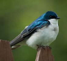 Tree Swallow On Fence by marilynwood