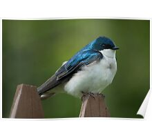 Tree Swallow On Fence Poster