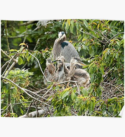Baby Great Blue Herons on the Nest Poster
