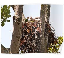 Baby Red Tailed Hawk Poster