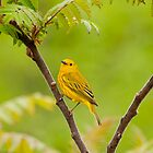Yellow Warbler - Long Sault, Ontario by Tracey  Dryka