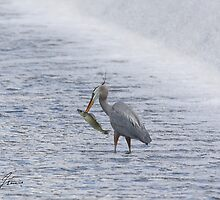 The Heron and the Walleye by DigitallyStill