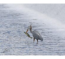 The Heron and the Walleye Photographic Print