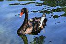 Black Swan by Sandy Keeton