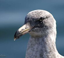 Dignified Gull by Kirstyshots