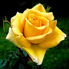 Yellow Rose by Esperanza Gallego