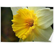 Wild Colorado Daffodil Poster