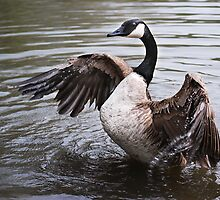 Canada Goose Fanning Wings by Laurie Minor