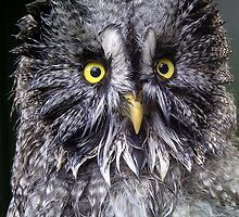 Post bath Great Grey Owl by Dave  Knowles