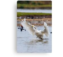 Wild Bewick's swan about to land Canvas Print