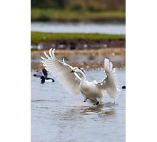 Wild Bewick's swan about to land Photographic Print