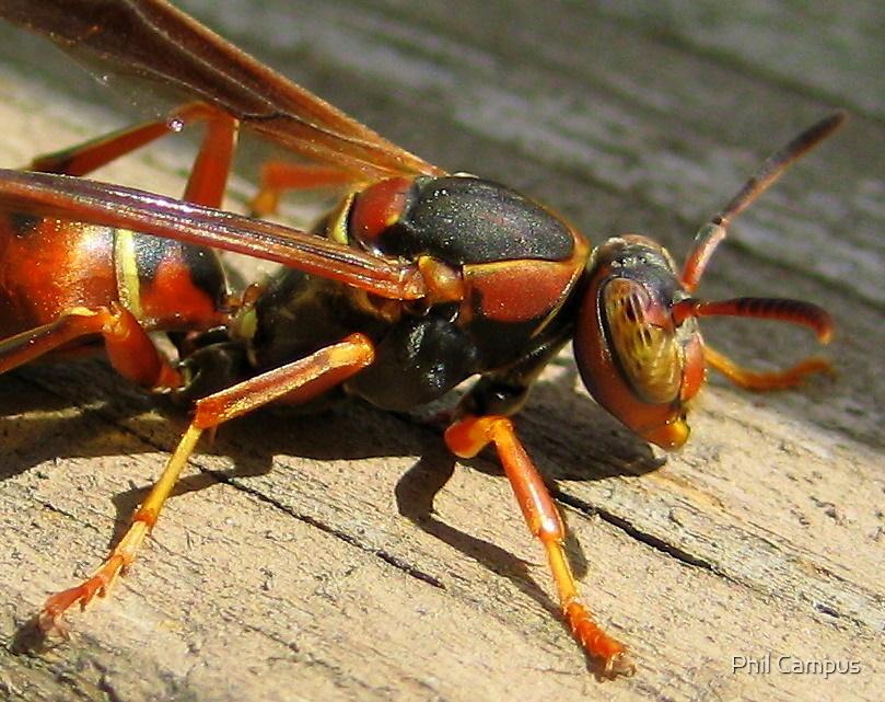 A Wasp by Phil Campus