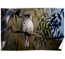 Shady kookaburra Poster