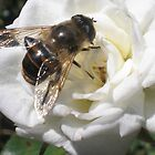 Bee on white Rose cropped by suzannenz