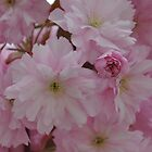 Cherry Blossom by Ann Miller
