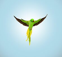Indian Ringneck by E Creations