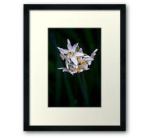 Virburnum Carlesii,Botanical Garden,Melbourne Framed Print