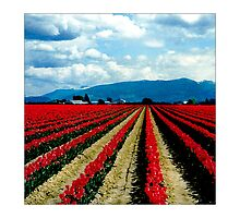 Tulip Fields #1 - Postcard by Michelle Bush